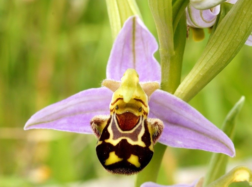 Ophrys-apifera