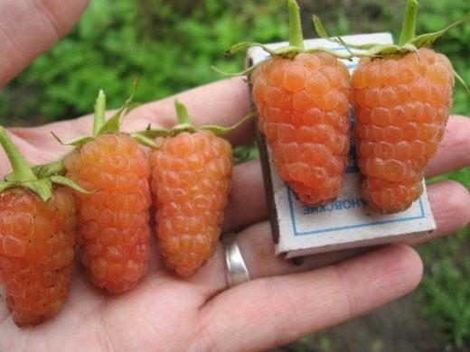 Жёлтая малина сорт «Оранжевое чудо»