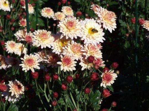 """Сорт мелкоцветковой хризантемы """"Осенний вальс"""""""