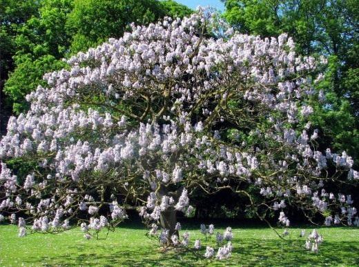 Выбирая дерево для сада, ориентируйтесь на его зимостойкость. К примеру, Павловния войлочная (Paulownia tomentosa) не подходит для регионов с суровыми зимами
