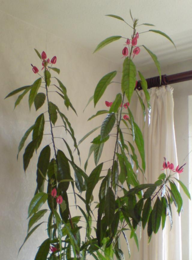 Павония Гладхилла (Pavonia gledhillii)