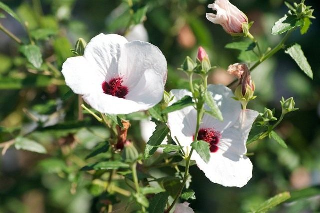 Павония копьевидная (Pavonia hastata)