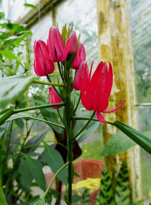 Павония многоцветковая (Pavonia multiflora)