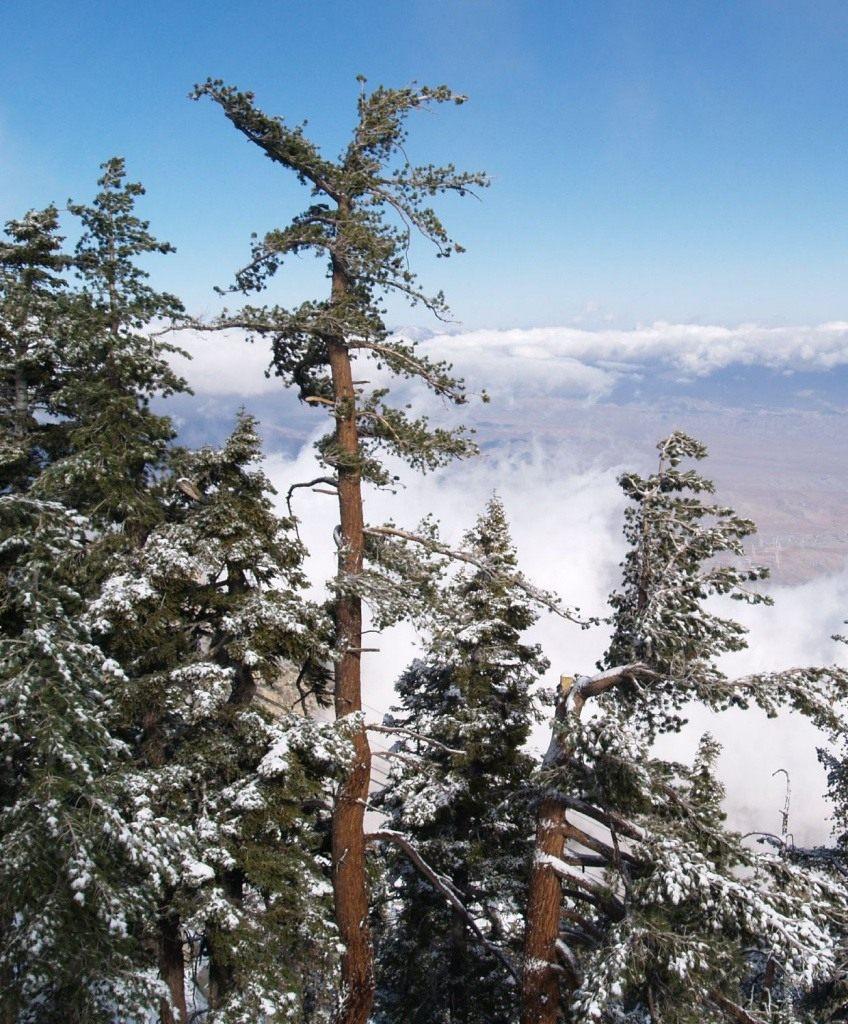 Pinus_lambertiana