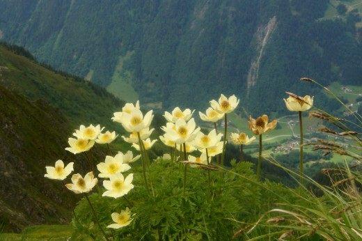 Прострел альпийский (Pulsatilla alpina)