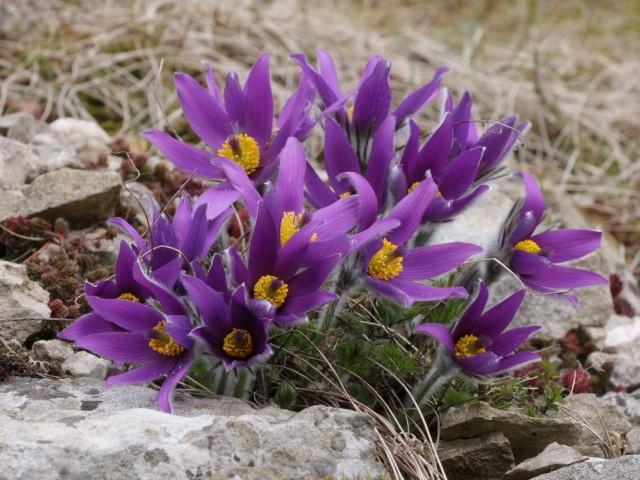 Прострел горный (Pulsatilla montana)