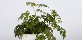 Берёзка, или роициссус ромбический (Rhoicissus rhomboidea)