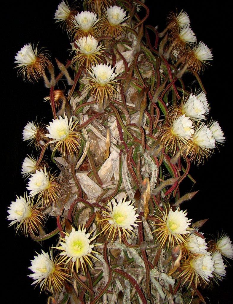 Selenicereus-grandiflorus-1