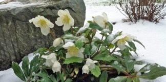 Цветение морозника