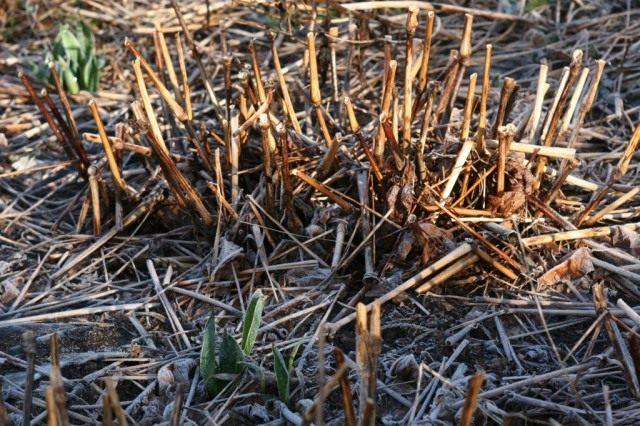Отмершие листья и побеги нужно срезать сразу после того, как сойдет снежный покров