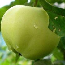 Яблоко сорт Белый налив