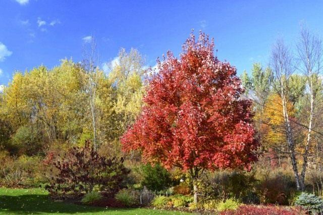 Клён остролистный, или Клён платановидный, или Клён платанолистный (Acer platanoides)