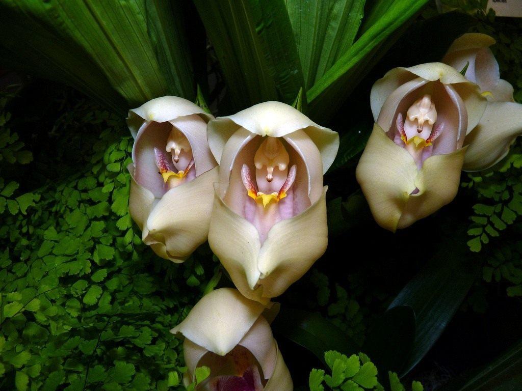 anguloa-uniflora-01