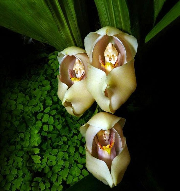 anguloa-uniflora-02