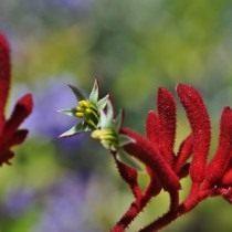 Анигозантос рыжий (anigozanthos rufus)