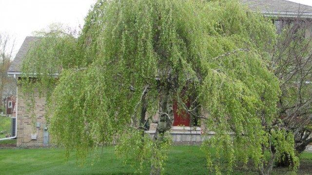 Берёза плакучая (betula pendula)