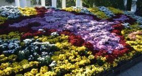 Бал хризантем в Никитском ботаническом саду - Цветник и ландшафт