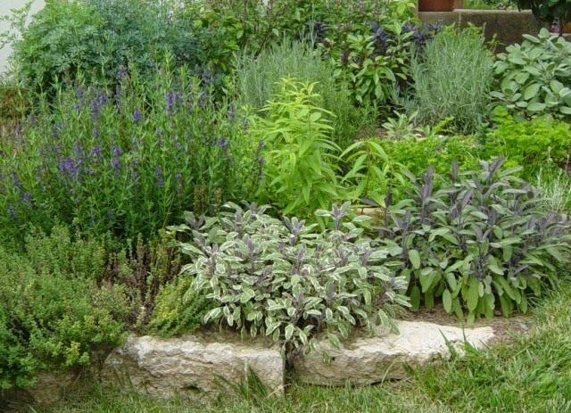 Пряные травы никогда не выходят из моды. Сегодня они активно перекочевывают с грядок и аптекарских садиков и на цветники, и в рабатки