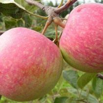 Яблоко сорт Конфетное