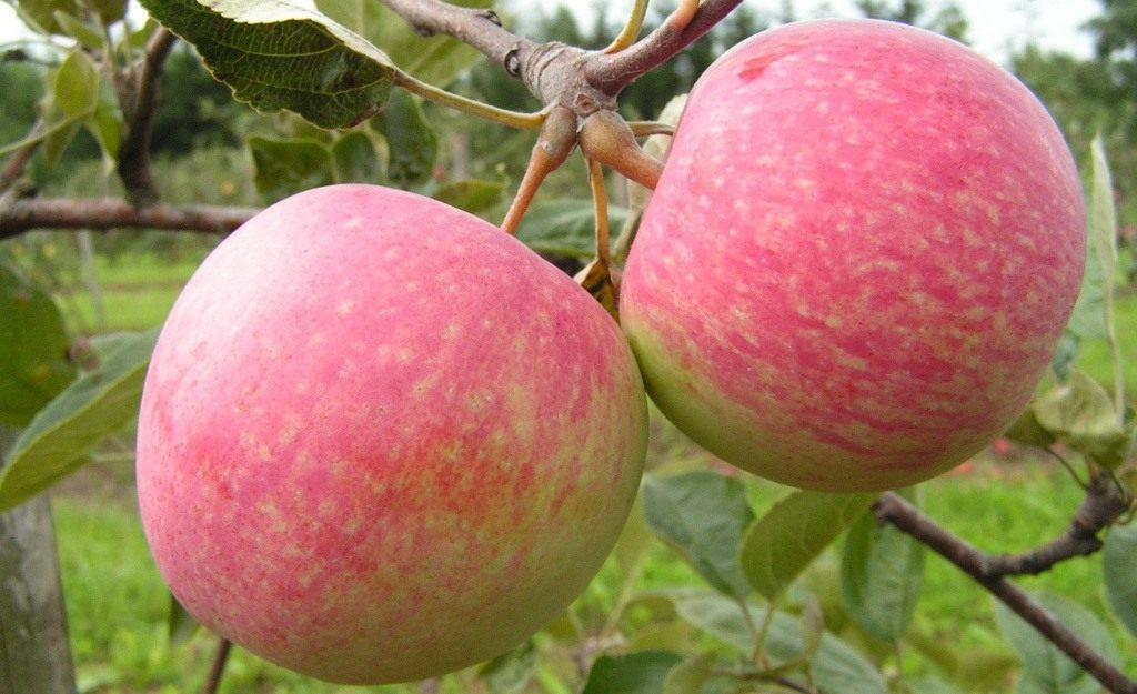 Сорт яблони Подарок Графскому 81