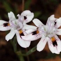 Морея летучая (Moraea fugax)