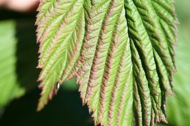 Проявление нехватки фосфора на листьях малины