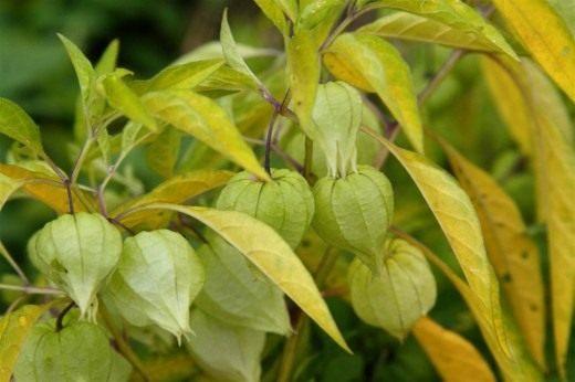 Физалис длиннолистный (Physalis longifolia)