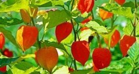 Как выращивать физалис — декоративный и не только - Цветник и ландшафт