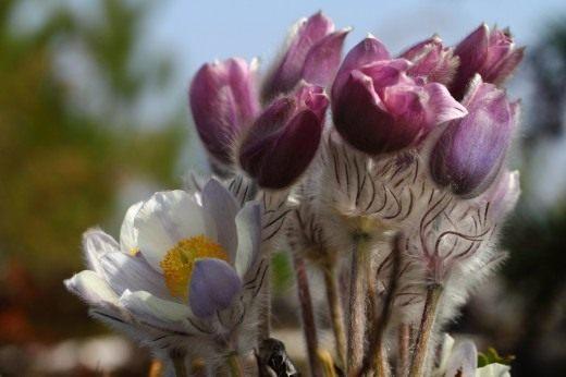 Прострел весенний (Pulsatilla vernalis)
