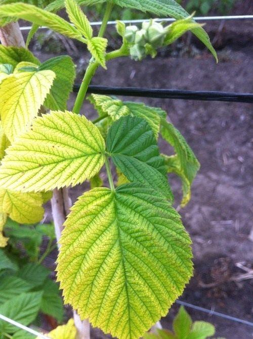 Пожелтение листьев малины может говорить о переизбытке фосфора и калия