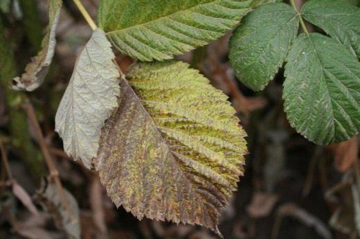 Пожелтение и некроз листьев малины могут являтся нехваткой таких элементов как фосфор или азот