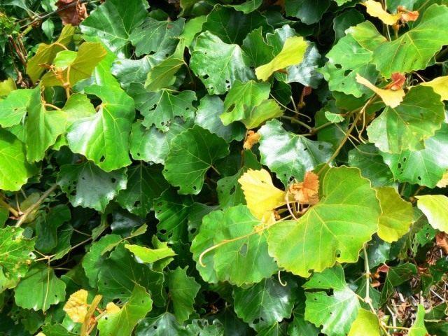 Роициссус капский (Rhoicissus capensis)