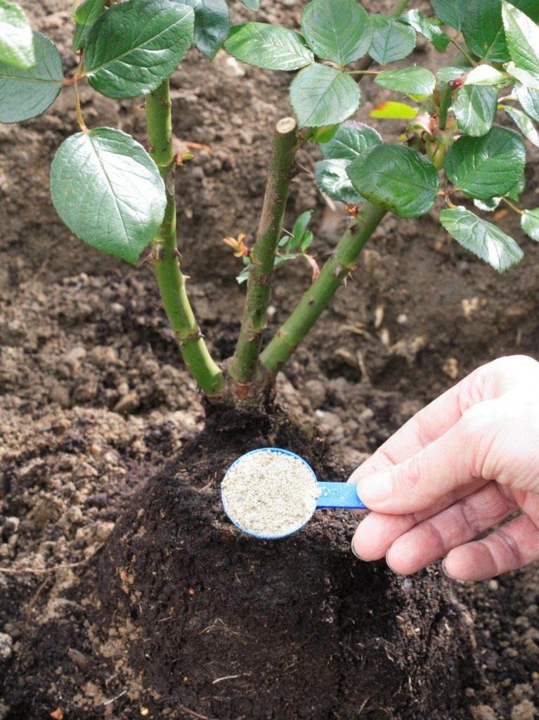 Подкормка для роз садовых