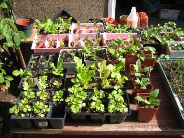 Рассада сельдерея, салата, лука-порей и капусты