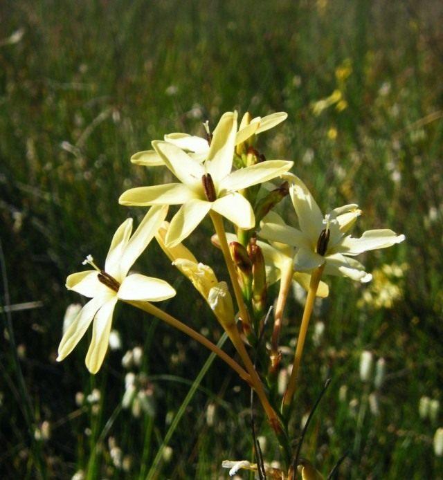 Иксия метельчатая (Ixia paniculata), синоним Ацидантера капская (Acidanthera capensis)
