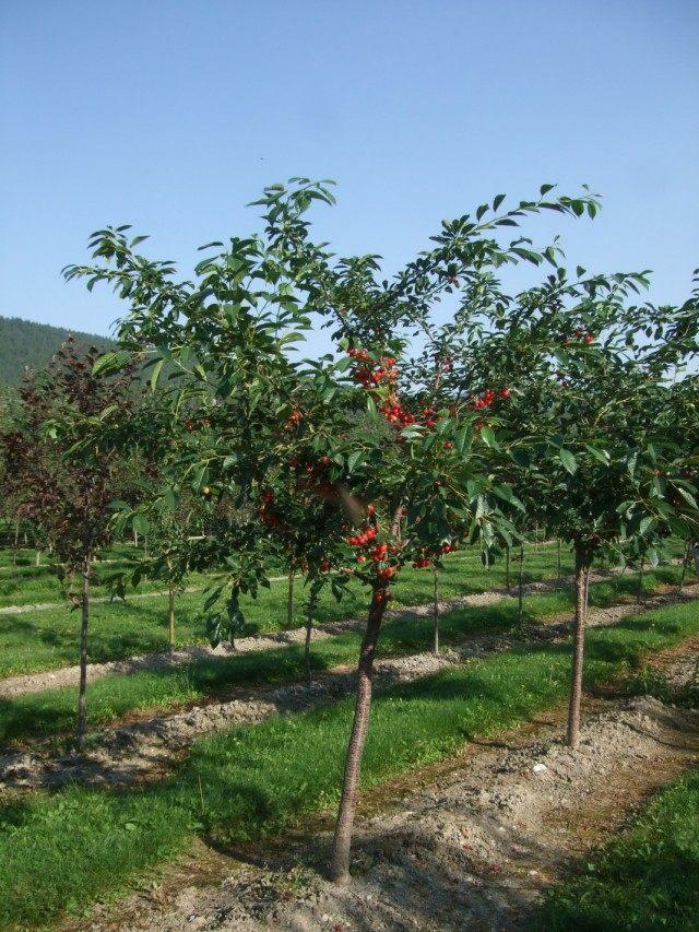 Молодой вишнёвый сад