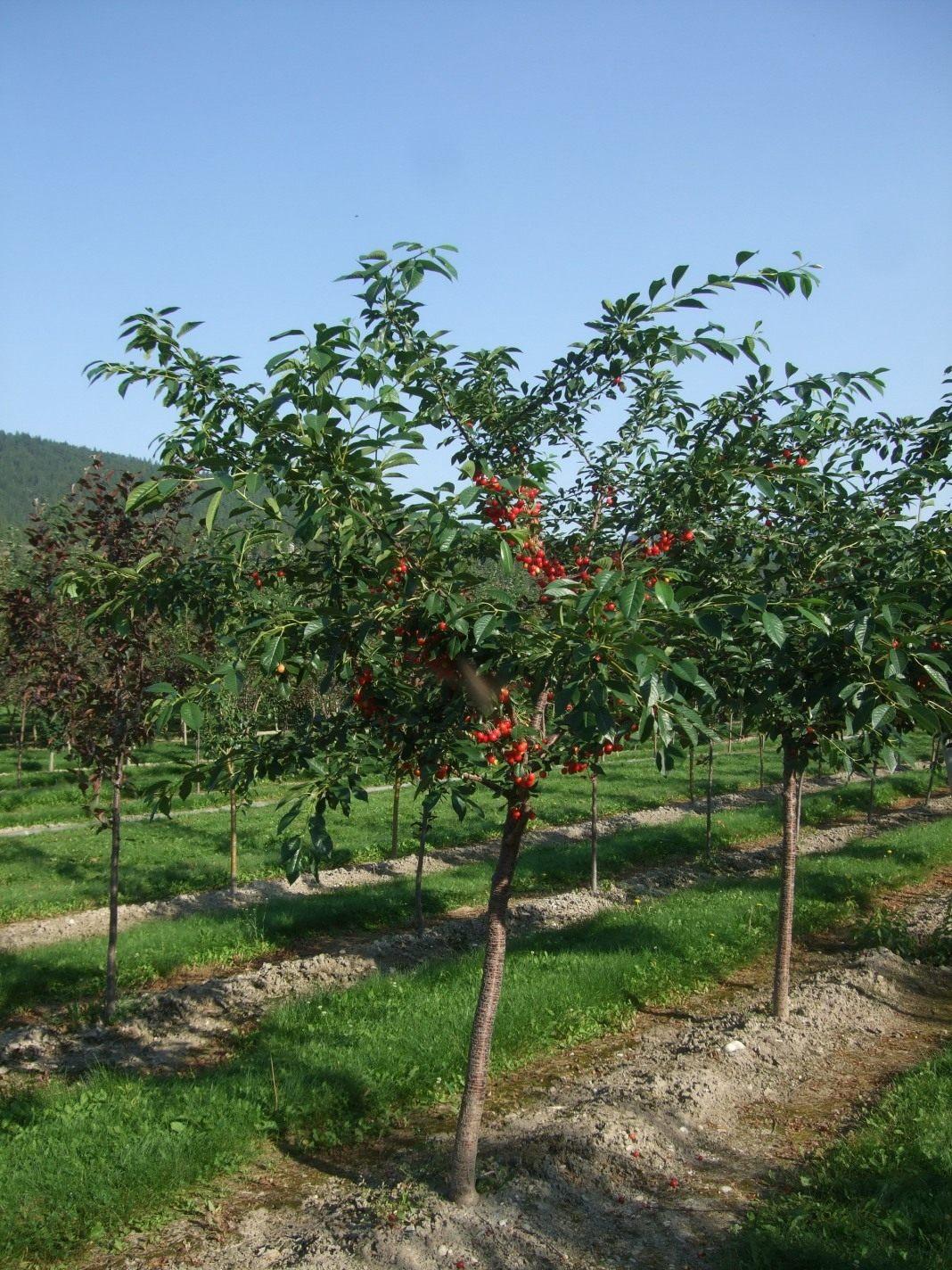 Вишня в саду: размножение — Сайт о растениях