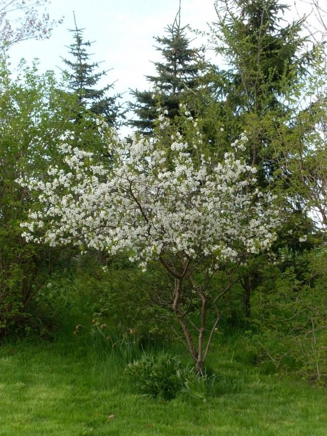 Цветущее вишнёвое дерево