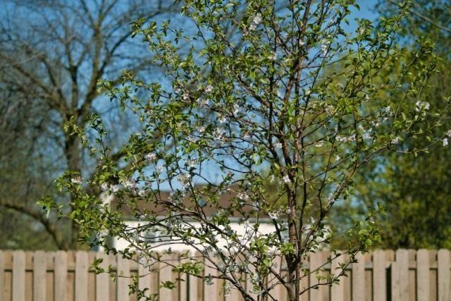 Вишнёвое дерево