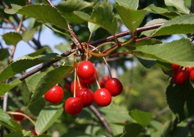 Вишня кислая, или Вишня обыкновенная (Prunus cerasus)