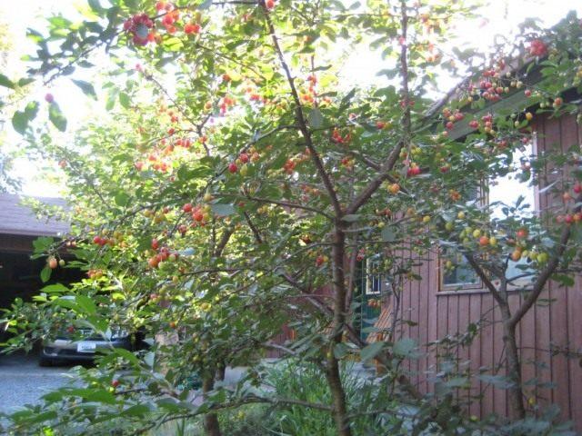 Вишнёвые деревья