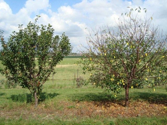 Справа дерево вишни пораженное коккомикозом