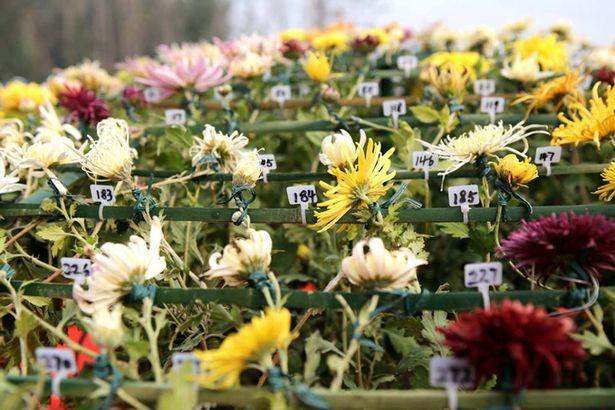 Chrysanthemum-3