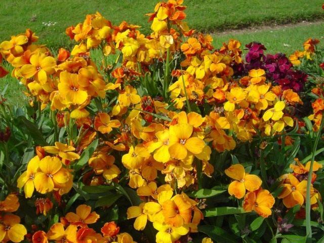 Лакфиоль, желтофиоль или желтушник Чери (Erysimum cheiri)