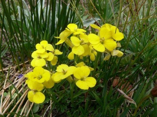 Желтушник карликовый (Erysimum pumilum)