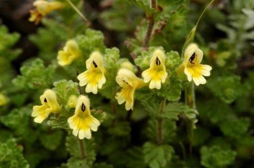 Очанка с желтыми цветками (Euphrasia nankotaizanensis)