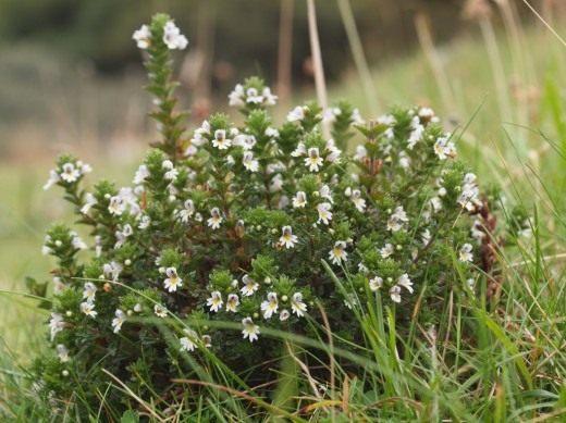 Очанка дубравная (Euphrasia nemorosa)