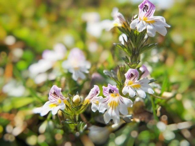 Очанка мелкоцветковая, или Очанка лекарственная (Euphrasia micrantha, syn. Euphrasia officinalis)