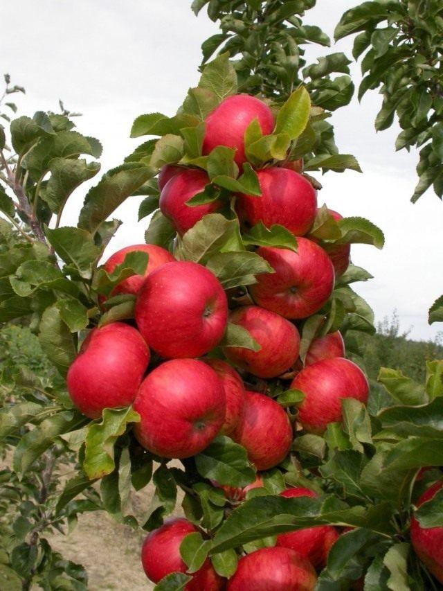 Плоды колоновидной яблони сорт Соната
