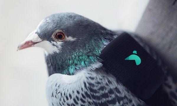 Pigeon-Air-Patrol-3